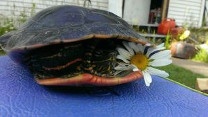 Turtle with a Daisy by aTigersChild