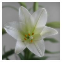 Mom's Easter Lily by spirals