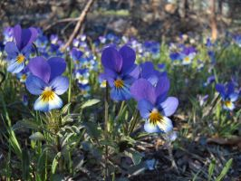 Wild violets by diamondie