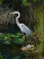Great Blue Heron by UniversalKinase