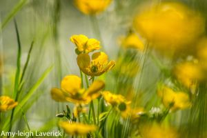 Buttercups in a field by Princess-Amy