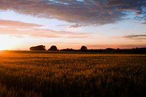 Cornfield by Nendy