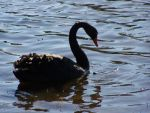 Black Swan1-Stock by SilkenWebs