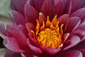 waterlily closeup by cadmey