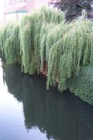 Willows in York by Brianetta
