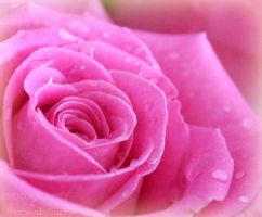 Macro Rose pink by DevchonkaLucky