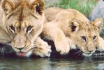 Lioness and cub drinking by Art-Photo
