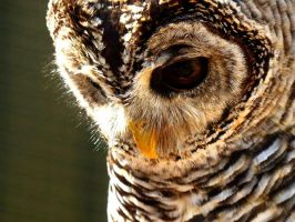 Mumble the Chaco Owl #2 by WhetherOrNo