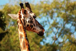 Rothschild Giraffe 3 by AdamsWife