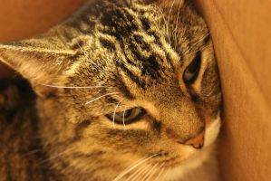 Cat resting in her Box by Toderico