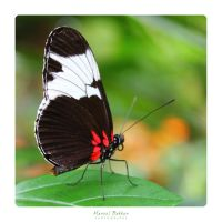 Cydno Longwing (Heliconius cydno) by MBKKR