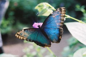 blue butterfly by AshleyxBrooke