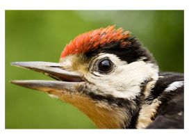 Redheaded Woodpecker by j0sh666