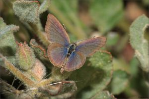 Common Grass-blue (Zizina labradus) by CBillington