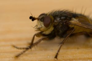 Hairy fly by mprox