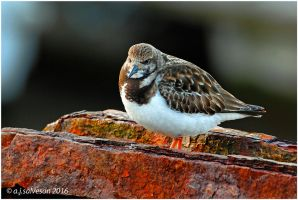 Turnstone And Rust. by andy-j-s
