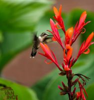 Ruby Throated Hummingbird by ryanvince