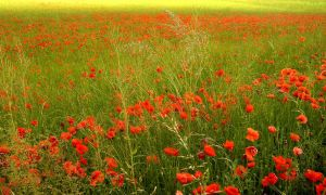 A Field of Red and Green by michaeljtr