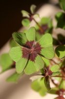Klee 02 - four-leaf clover by Nexu4