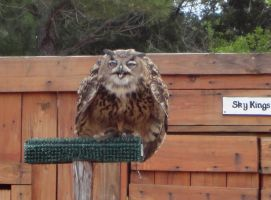 Sky Kings - Eagle Owl 1 by HiddenYume-stock
