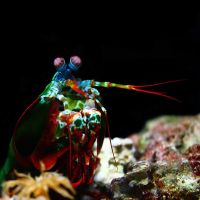 Peacock Mantis Shrimp by sapphiresphinx