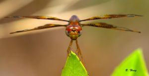 Dragonfly Portrait by Grouper