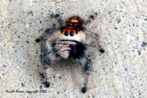 Regal Jumping Spider by crystalbreath81