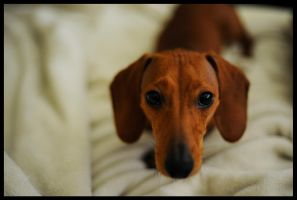 Dachshund by ashesrequiem