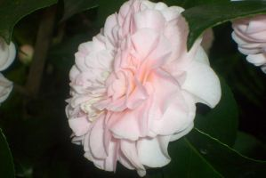 white camellias in flora by ingeline-art