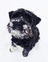 Snow Schnauzer by HannahCombs