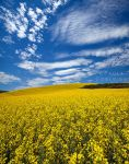 Canola in the Palouse by La-Vita-a-Bella