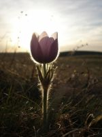 Crocus In The Sunset by drake-06