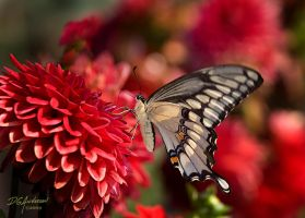 Giant flutterby  Swallowtail by DGAnder