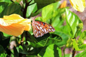 Orange Butterfly on Hibiscus Bloom by winterface