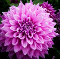 Fall dahlia 5 by mysweetpea