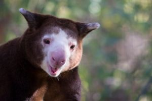 Tree-Kangaroo by Shiryu37