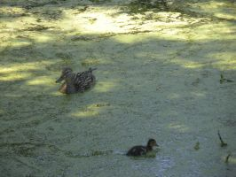 Ducks1 by MaelstromStock