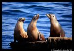 Sealion Trio by TVD-Photography