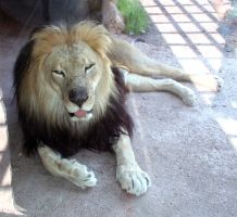 Denver Zoo 213 Lion by Falln-Stock