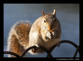 Grey Squirrel by andy-j-s