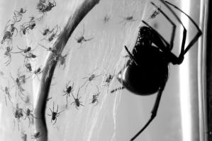 Black Widow Spider by Omega300m
