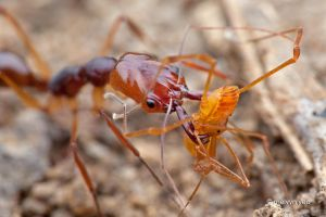 Trap jaw ant with prey by melvynyeo