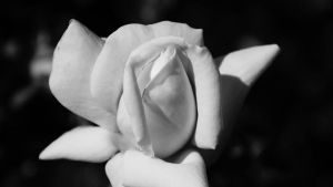Rose Bud by Futz5