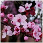 Hanami by shadowed-light-waves