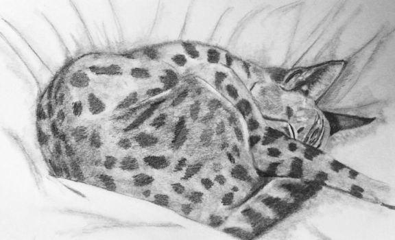 Life Study of my Bengal Cat Mina by thefaeriedragon