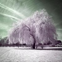 .: White Willow II :. by Dave-Ellis