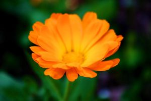 Orange Flower by ChiaryLoveHouse95