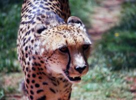 Cheetah Gift by 1wolf-photography