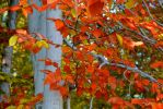 Beech Leaves by desmo100