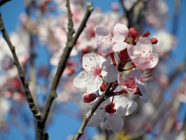 Plum Blossoms by sscarpaci